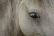Pony eye close up