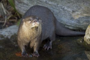 Otter at London Wetland Centre
