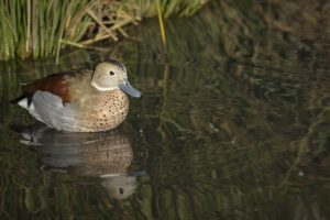 Ringed Teal at the London Wetland Centre