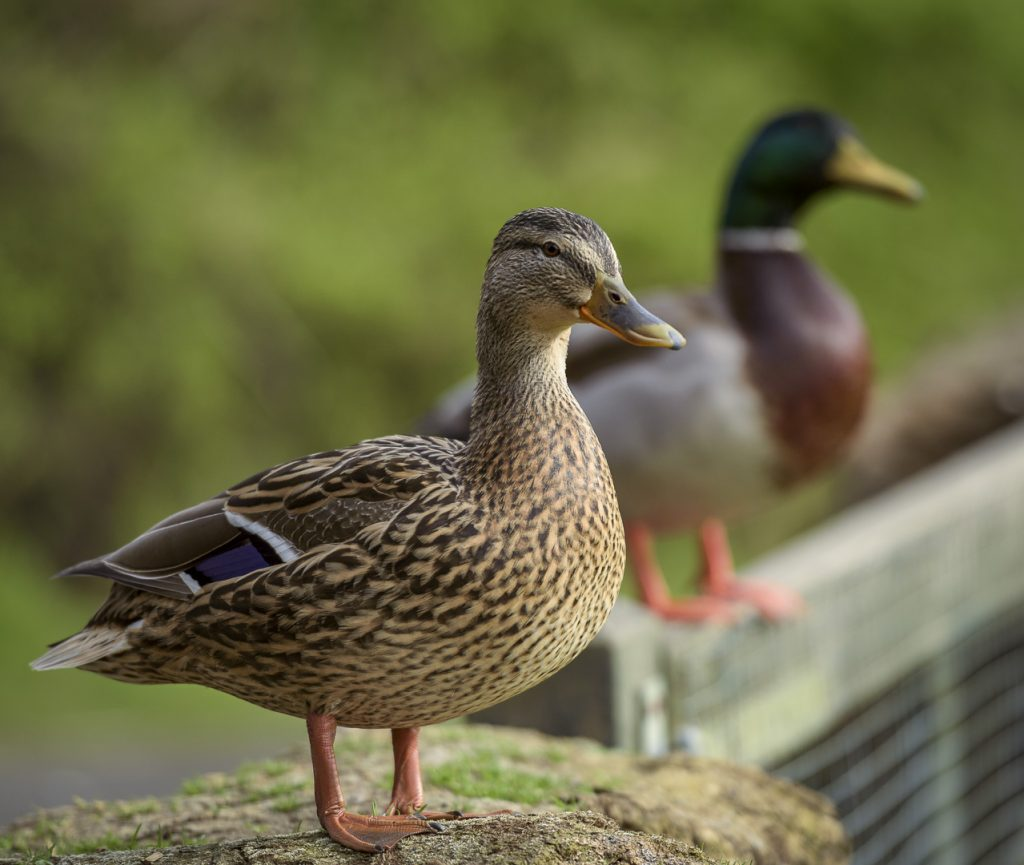 Mallard Ducks at the London Wetland Centre