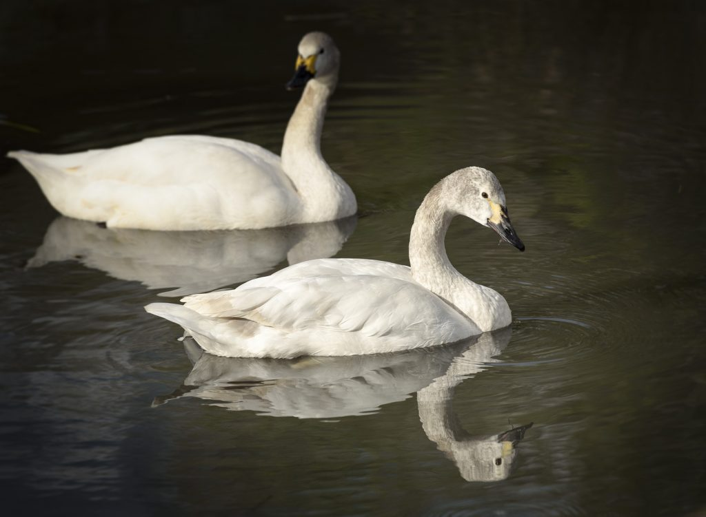 Berwick Swans at the London Wetland Centre