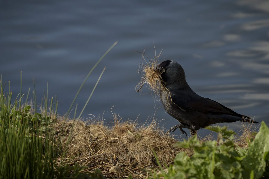 Jackdaw stealing nesting material from London Wetland Centre