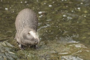 Asian Otter at London Wetland Centre