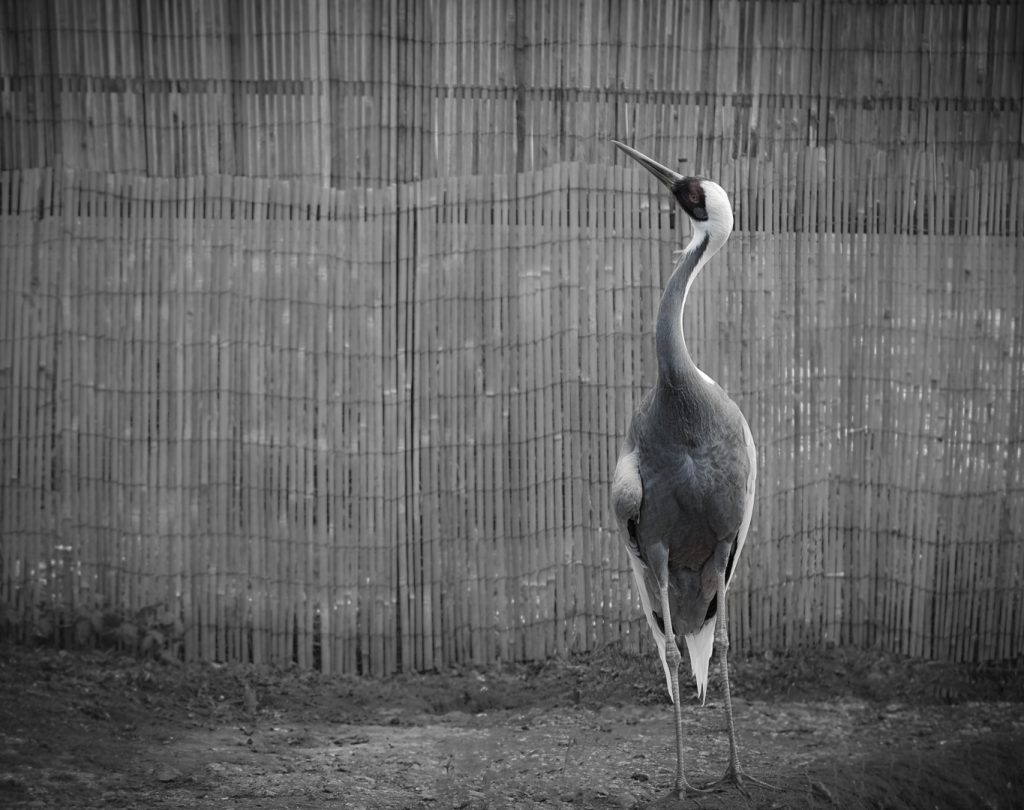 Crane at the London Wetland Centre