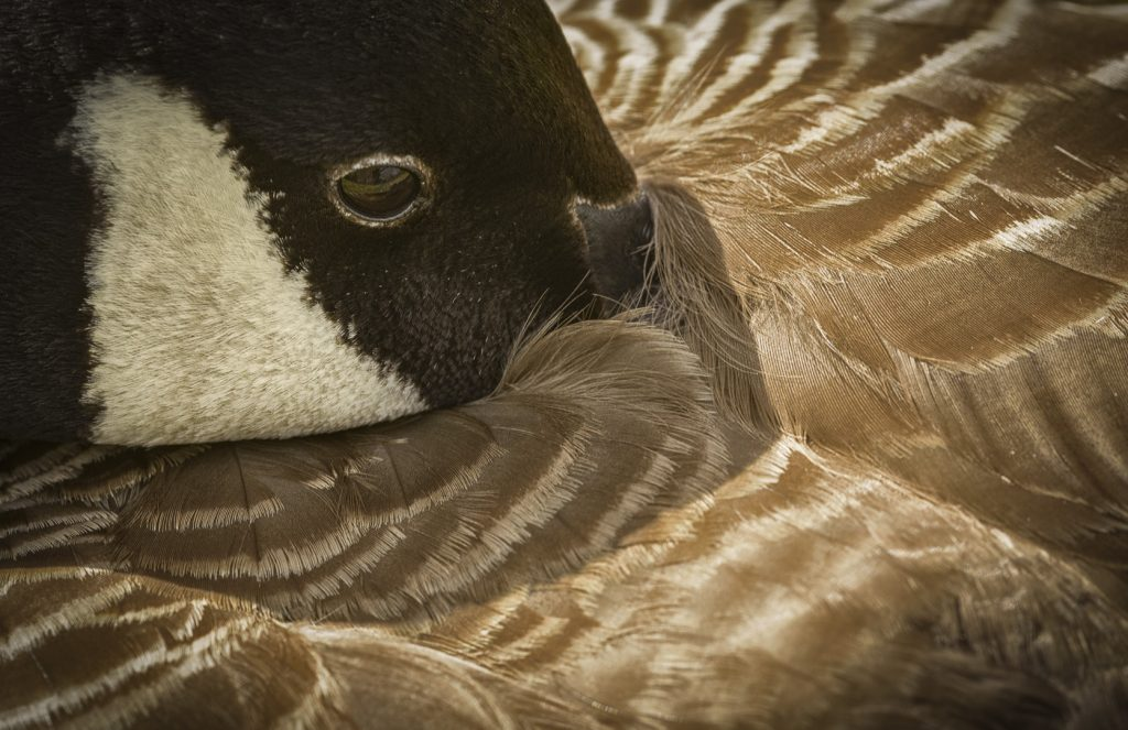 Canada Goose taking advantage of the London Wetland Centre