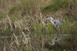 Heron fishing at London Wetland Centre