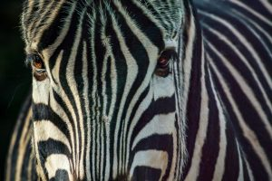 Zoo Animal Portraits - Plains Zebra
