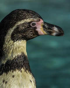 Portrait of a Humboldt Penguin at London Zoo