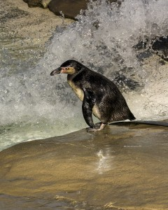 Penguin about to take a dive