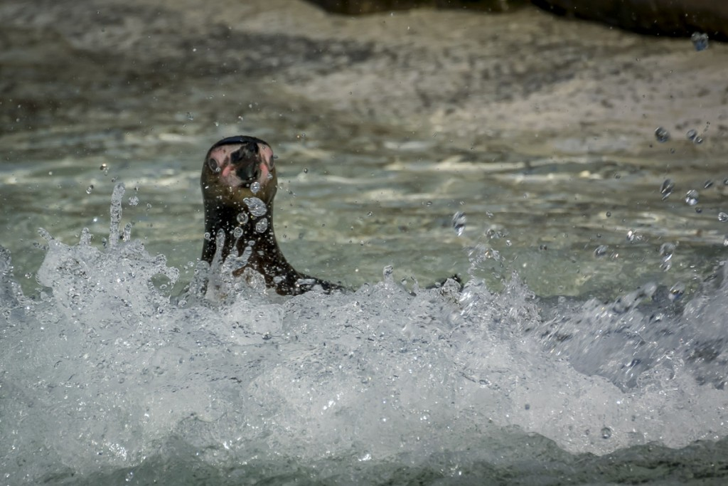 Penguin in the surf at london Zoo